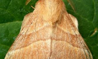 Коконопряд кільчастий. Що це за метелик?