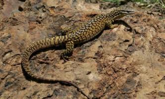 Кольцехвостих варан - ящірка з колючим хвостом