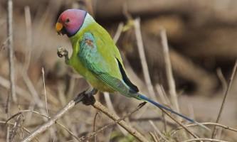 Кільчасті або ожерелові папуги - красиві і граціозні птахи