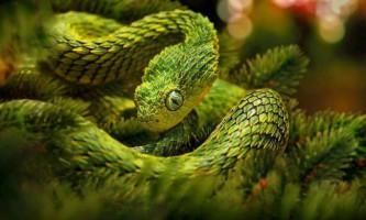 Колючий чагарникова гадюка - скуйовджена рептилія