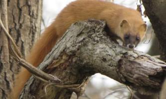 Колонок - пухнасте звірятко сімейства куницевих