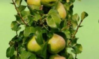Колоновидні груші: сорти, поради по догляду і посадці