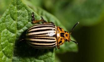 Колорадський жук - смугасте нещастя городників