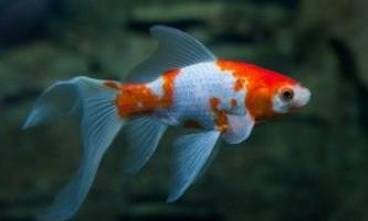 Комета - акваріумна рибка