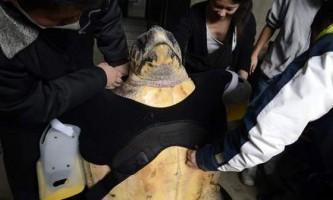 Морська черепаха на прізвисько ю отримала унікальні плавники