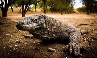 Комодський варан - ящір-гігант