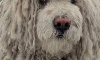Комондор або угорська вівчарка (komondor, hungarian sheepdog)