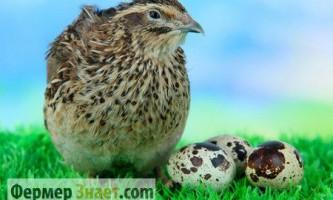Кому і чому корисно їсти перепелині яйця і м`ясо