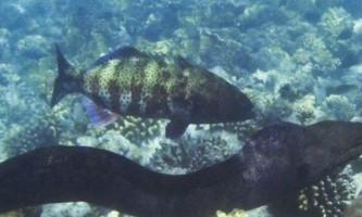 Коралова форель виявилася такою ж здатною, як шимпанзе