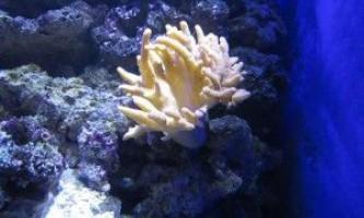 Корали для акваріума