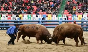 """Корейська фестиваль """"бої биків"""""""
