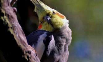 Корелла - неймовірно тямущий папужка