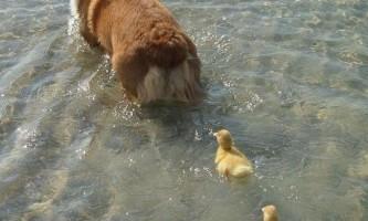 Коргі став мамою для домашніх каченят
