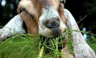 Годування кіз