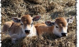 Годування молодняка великої рогатої худоби