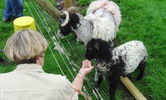 Годування овець