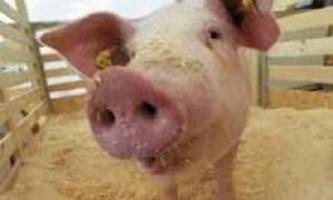 Годування свиней: складаємо оптимальний раціон і вибираємо відповідну технологію