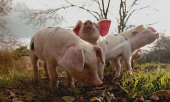 Годування свиней