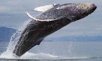 Годування горбатих китів біля берегів аляски