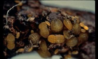 Коренева тля - паразит плодових і садових культур