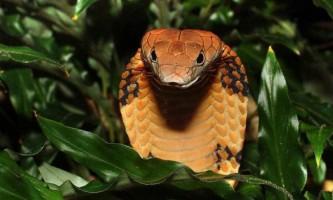 Королівська кобра - найбільша отруйна змія на планеті