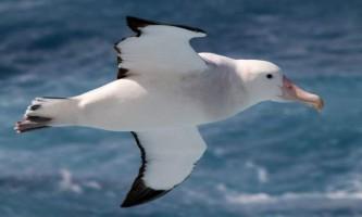 Королівський альбатрос - воістину царствена птах