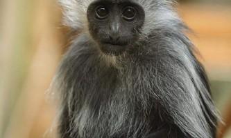 Королівський колобус - примат з білими бакенбардами