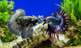 Королівський півник і інші види бійцівської рибки