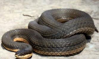 Королівський водяний вуж - теплолюбна змія