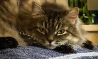 Коронавірус у кішок: симптоми і лікування