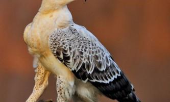 Коронований орел - найбільший орел в африці