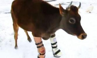 Корова освоїла протези