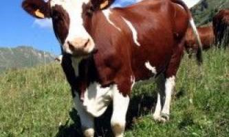 Корова з пробірки