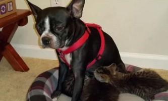 Собака годує своїм молоком кинутих кошенят