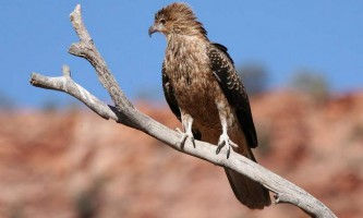 Коршун-свистун: місця проживання, зовнішній вигляд, голос птиці