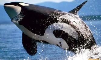 Косатка - кит сімейства дельфінових