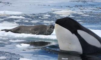 Косатки полюють на тюленів за допомогою `хвиль-вбивць »