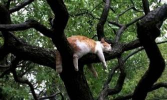 Котяче дерево