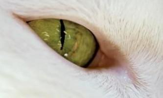 Котячий зіницю звужується без участі мозку