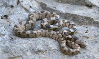 Котяча змія