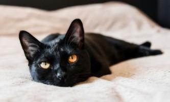 Кішка бомбейська - фото «чорного скарби»