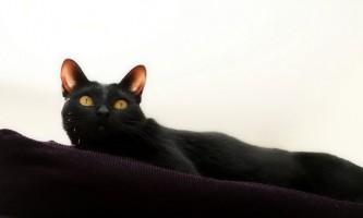 Кішка бомбейська