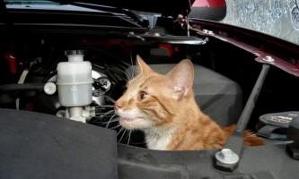 Кішка з воронезької області прокотилася під капотом хазяйського автомобіля 500 кілометрів