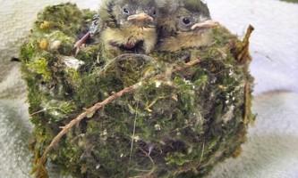 Кішка принесла додому гніздо з живими пташенятами