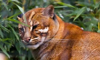 Азіатська золотиста кішка - вогняне тварина із загадковою історією