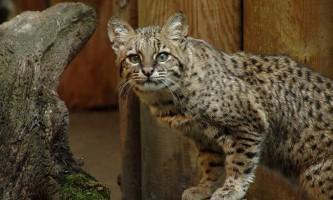 Кішка жоффруа - американська плямиста красуня