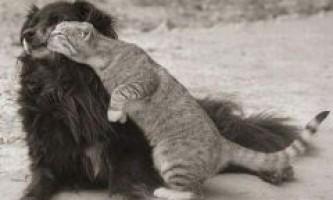 Кішки і собаки, як подружити вихованців