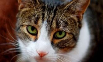 Кішки обожнюють маніпулювати жінками