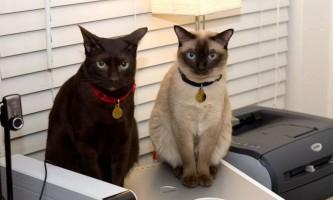 Кішки породи гавана