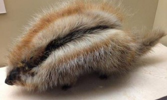 Кошлатий хом`як - гризун, схожий на дикобраза
